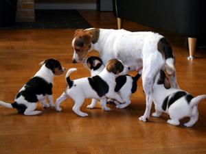 hunde til salg jylland